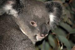 koala Стоковое фото RF