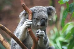 Koala. Australian koala bear holding on to branches Stock Image