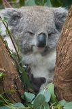 Koala. Cuddly koala lazily sitting on a gum tree, Australia stock images