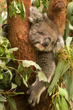 Koala. Wild koala sleeping, Phascolarctos cinereus, Australia royalty free stock image