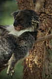 Koala. The Koala, Phascolarctos cinereus , is an arboreal marsupial and iconic animal for and from Australia Stock Photos