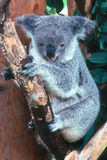 KOALA. On a tree branch looking down Stock Images