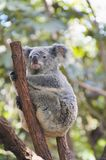 Koala. Cuddly koala lazily sitting on a branch, Australia stock photo