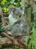 Koala Royalty-vrije Stock Afbeelding