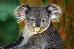 Koala. Frontal view of Australian Koala royalty free stock photos
