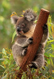 Koala. A cute koala that hang on one of tree trunk royalty free stock photo