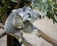 Koala Stock Photos