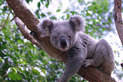 Koala. Cute Koala, an Australian Marsupial, looking straight at the camera royalty free stock image