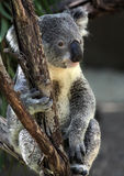 Koala. Young Koala Close Up Sitting In Eucalyptus Tree stock image