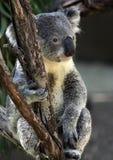 Koala Imagen de archivo