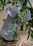 Koala. Close Up Of Young Koala Sitting In Eucalyptus Tree Eating stock image