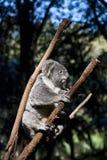 Koala. Stock Foto's