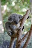 koala 2 медведей Стоковое Фото