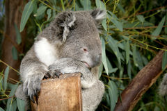 Koala 2 Stock Photos