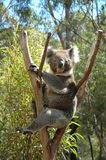 Koala. Koala's will only eat one specie of Eucalypt Gum Leaf. Thay always seem to be intoxicated. So thay sleep most of the time Stock Images