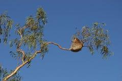 Koala Stockbild