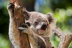 Koala. Bear in a eucalyptus tree Stock Images