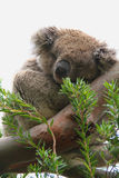 Koala Royalty Free Stock Photo