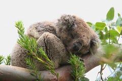 koala Στοκ Εικόνα