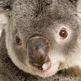 Koala photographie stock libre de droits