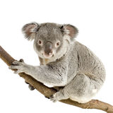 Koala Photos stock