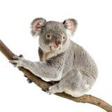 koala Royaltyfria Foton