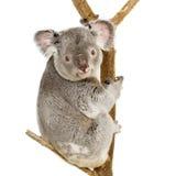 Koala Stock Images