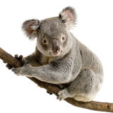 Koala. In front of a white background stock photos