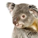 koala Royaltyfri Bild