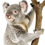 Koala Foto de archivo