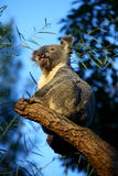 KOALA. Cute Koala on a branch royalty free stock photography