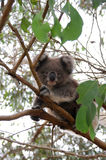 Koala. Wild koala in Australian national park stock images