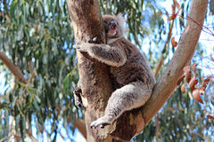 Koala. Sleeping on a eucalyptus tree, Australia royalty free stock photos
