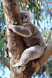 Koala Royalty Free Stock Photos