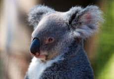 Koala Royalty Free Stock Image