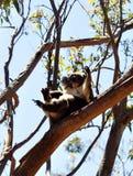 Koala Στοκ εικόνα με δικαίωμα ελεύθερης χρήσης