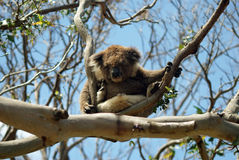 Koala Stockfoto