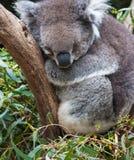 Koala Lizenzfreie Stockfotografie