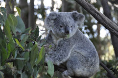 Koala 3 Royalty Free Stock Photography