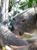 Koala 3 Lizenzfreie Stockfotografie