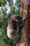 koala Fotografia Stock Libera da Diritti