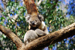 Koala Stockfotos