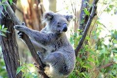 Koala Royaltyfri Foto