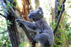 Koala Arkivbild