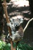 Koala Fotos de archivo