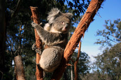 Koala. Image of Koala from Sydney Australia Stock Photos