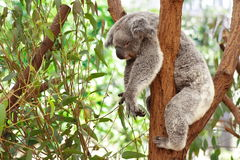 Koala. Australia Queensland Farm Cute royalty free stock photo