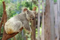 Koala. Australia Queensland Farm Cute