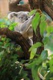 Koala Fotos de archivo libres de regalías