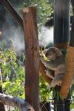 Koala Στοκ φωτογραφία με δικαίωμα ελεύθερης χρήσης